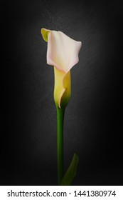 Calla lily flower is also called the trumpet, pig or arum lily.