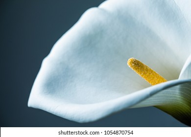Calla Lily Flower Close-up Background of a Single Flower Shot in Studio - Elegance Concept