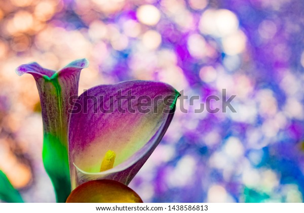 Calla lily flower pink with light spot background