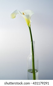 Calla Lily Flower shot in the studio. Copy space