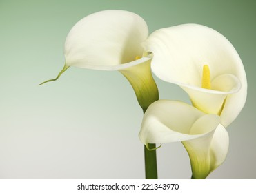 Calla Lily Flowers shot in the studio on a green background