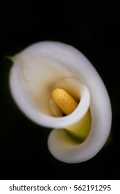 Calla Lily isolated with dark background (selective focusing)