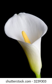 Calla lily isolated on black