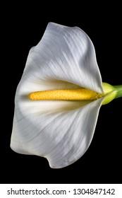 calla lily macro
