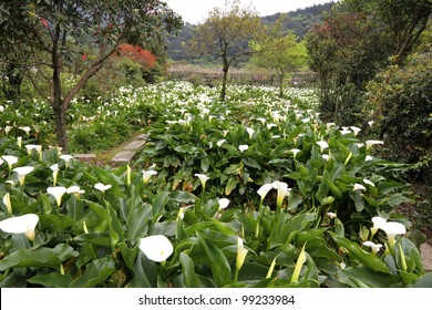 calla lily meadow in a mountain valley