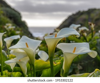 Calla Lily Valley in bloom. Garrapata State Park, Monterey County, California, USA.