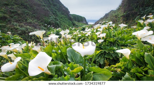 Calla Lily Valley at Garrapata State Park (Big Sur)