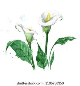 Calla lily. Watercolor Illustration.