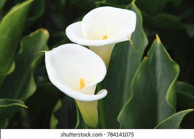 Calla lily,beautiful white calla lilies blooming in the garden,Arum lily,Gold calla