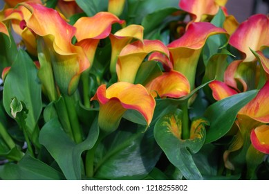 Calla Morning Sun grow in the flowerbed. Spring time in  Netherlands.