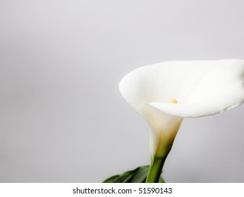 Calla and nature Background