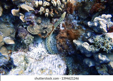 Callechelys lutea or Yellow-spotted snake eel is an eel in the family Ophichthidae, found in the Hawaii islands, Florida, and the Caribbean Sea.