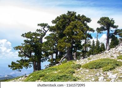 So called Garden of Gods in Pollino National park, where  the Bosnian pine, or Pinus Leucodermis lives, Basilicata , Italy