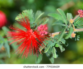 Calliandra californica (Baja fairy duster), is an evergreen, woody shrub which is native to Baja California, Mexico also known vernacularly as tabardillo, zapotillo or chuparosa