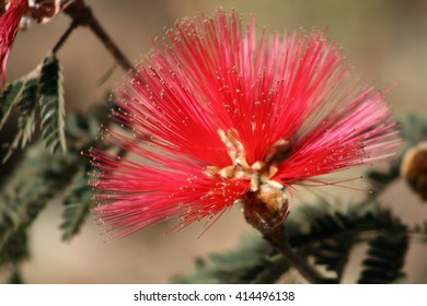 Calliandra dysantha, Brazilian Cerrado symbol flower