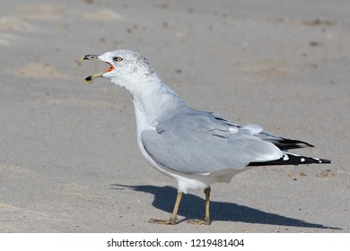 Calling adult Ring-billed Gull standing on the beach