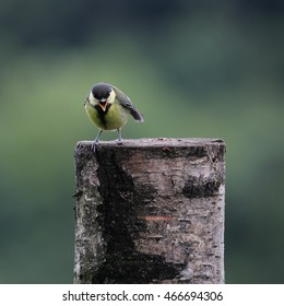 A calling Great tit perched on a tree stump
