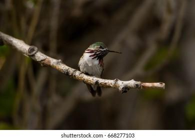 Calliope Hummingbird Perched on Tree Branch