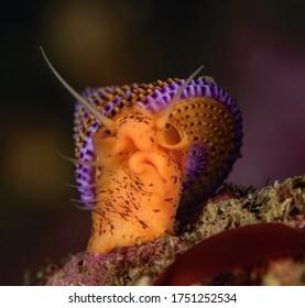 Calliostoma annulatum, Purple ringed top snail