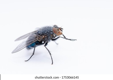 Calliphora vicina Female Carrion Fly