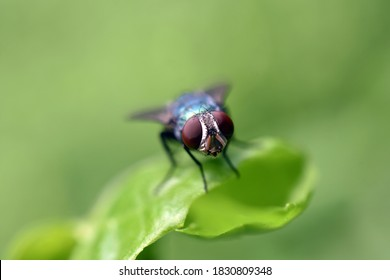(Calliphoridae) blow flie,carrion flie,blue bottle,green bottle, orcluster flie on the leaf of the wild plant with green blurry background