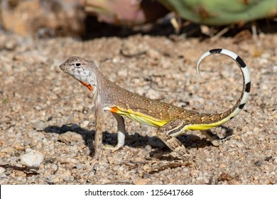 Callisaurus draconoides a cute Zebra Tailed Lizard in the Sonoran Desert with green prickly pear cactus in the background. Beautiful wild reptile with yellow, brown, orange, black and white colors.