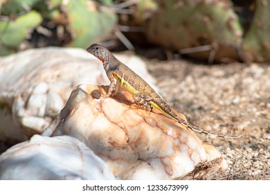 A callisaurus draconoides or Zebra Tailed Lizard. a species of reptile native to the Sonoran Desert in Southwestern North America. Yellow and tan markings with black and white stripes on the tail.