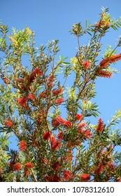 Callistemon flower on a tree against the sky