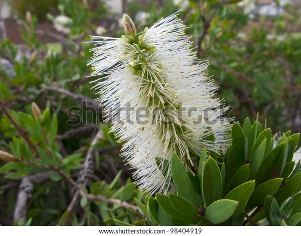 Callistemon Pallidus - Australian white bottlebrush shrub - flower