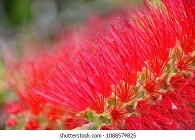 Callistemon - red bottlebrush flower in bloom