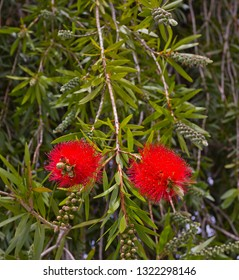 Callistemon, which  is a genus of shrubs in the family Myrtaceae
