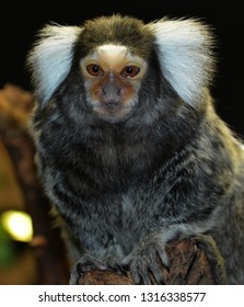 Callithrix is a genus of New World monkeys of the family Callitrichidae, the family containing marmosets and tamarins. The genus contains the Atlantic Forest marmosets.