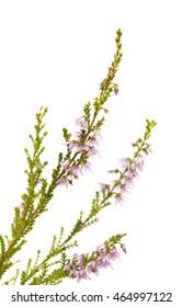 Calluna vulgaris , common heather isolated on white background