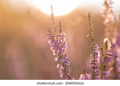 Calluna vulgaris (common heather, ling, heather) is a flowering plant family Ericaceae. Blooming wild Calluna vulgaris (common heather) in the evening light. Honey plant Calluna vulgaris.