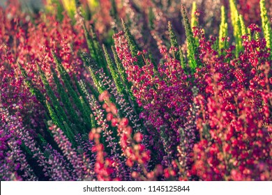 Calluna vulgaris (known as common heather, ling, or simply heather). Bright colorful autumnal background. Filled full frame picture. Diversity of plants in city flowerpot. Heather of various species.