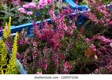 Calluna vulgaris (known as common heather, ling, or simply heather). Diversity of plants in city flowerpot. Heather of various species. colorful erica heather arrangement in autumn close up