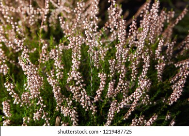 Calluna vulgaris (known as common heather, ling, or simply heather). Diversity of plants growing outdoors. Heather of various species. colorful erica heather arrangement in autumn close up