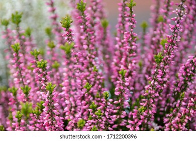 Calluna vulgaris or Ling as a floral background.Pink Heather flowers blossom in the meadow.Selective soft focus.