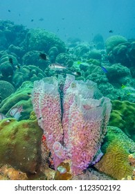 Callyspongia plicifera, the azure vase sponge, is a species of demosponges belonging to the Callyspongiidae family.