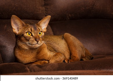 Calm abyssinian cat lying on brown couch