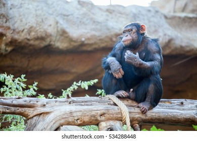 Calm adult chimpanzee sitting on tree trunk in area, Loro Parque zoo, Tenerife, Spain