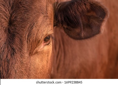 calm cow observing its habitat