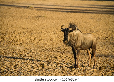 Calm Gnu in the afternoon sun