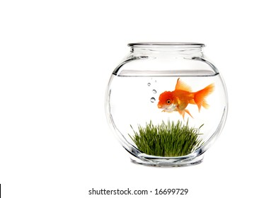 Calm Goldfish Bowl With Green Grass and Fish Blowing Bubbles