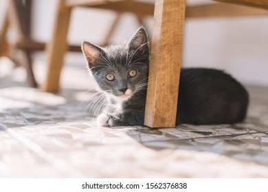 Calm grey kitten lying on the floor near wooden chair leg and looking in the camera. Russian blue cat. Raising pets. Domestic animals concept. Selective focus on kitty face. Close up.