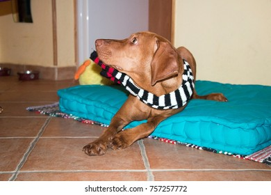 calm Hungarian vizsla with scarf laying on the floor