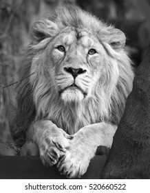 Calm look straight into the camera of an Asian lion, lying among trees. The King of beasts, biggest cat of the world. The most dangerous and mighty predator of the world. Black and white image.