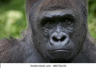 Calm and peace on western lowland gorilla's face