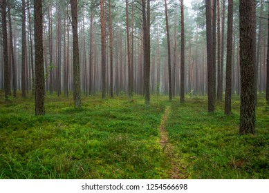 calm and peaceful pine tree forest with green forest bed and straight tree trunks in mist. long exposure