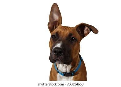 Calm purebred dog in blue collar sitting and looking away on white studio background.